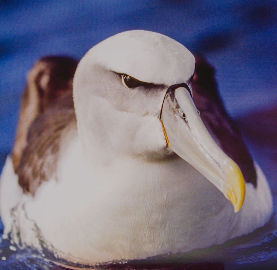 species of albatross, a mollymawk, floating in the ocean with a real glare in its eye
