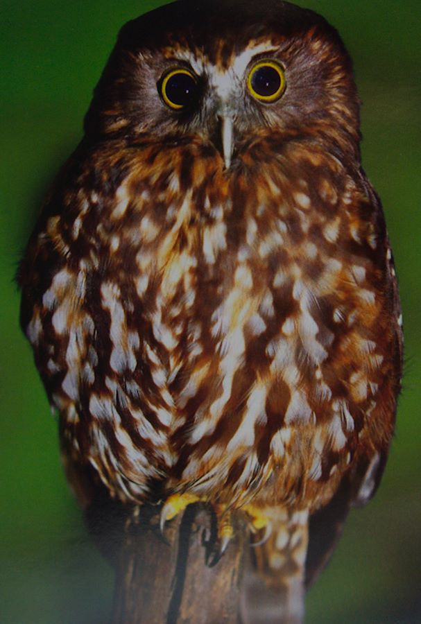 Morpork, a common native New Zealand owl, with its eyes very wide open
