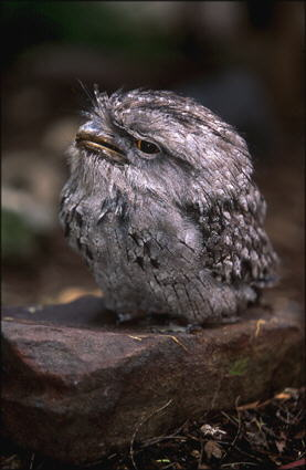 tawny frogmouth chick.  Photographer: Morgana