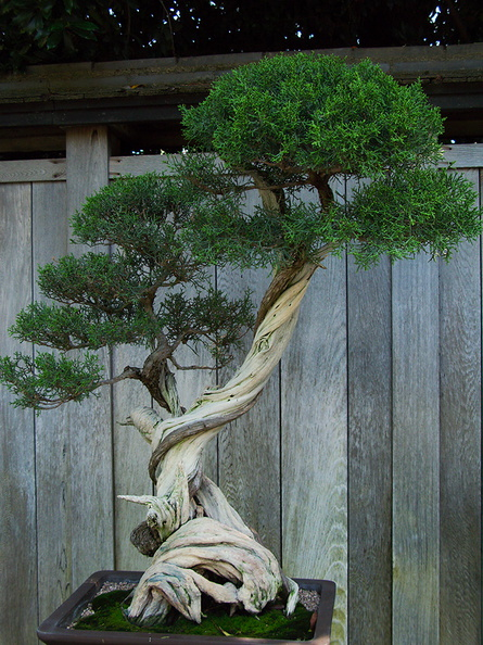 Bonsai Garden California Juniper Huntington Bot Gard 2010