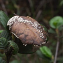leaf-mold-fungus-white-dots-indet-Malibu-Springs-trail-2013-01-27-IMG 3316