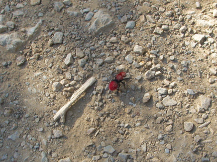 Dasymutilla-vestita-red-velvet-ant-Satwiwa-waterfall-trail-2011-04-12-IMG 7659