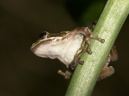 green-tree-frog-Satwiwa-waterfall-trail-2011-03-29-Satwiwa-waterfall-trail-2011-03-29-IMG 1919