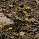 Mimulus-brevipes-widethroated-yellow-monkeyflower-Pt-Mugu-2014-05-19-IMG 3750