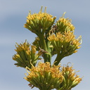 Agave-deserti-flowering-Hwy-S2-toward-Palm-Springs-2011-03-17-IMG 1849