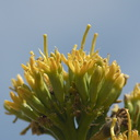 Agave-deserti-flowering-Hwy-S2-toward-Palm-Springs-2011-03-17-IMG 1850