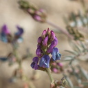 Astragalus-sp-palmeri-milkvetch-Blair-Valley-pictographs-trail-Anza-Borrego-2012-03-11-IMG 4112