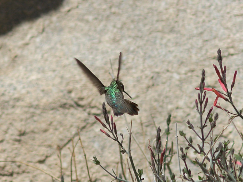 Costas-hummingbird-near-overlook-to-Vallecito-Blair-Valley-pictographs-trail-Anza-Borrego-2012-03-11-IMG_4162.jpg