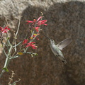 Costas-hummingbird-near-overlook-to-Vallecito-Blair-Valley-pictographs-trail-Anza-Borrego-2012-03-11-IMG 4178