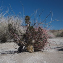 barrel-cactus-and-thorn-shrub-June-Wash-Anza-Borrego-2012-03-12-IMG 1026
