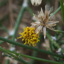 Bebbia-juncea-sweetbush-Box-Canyon-S-of-Joshua-Tree-2010-11-19-IMG 6575