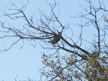 ladderback-woodpecker-Barker-Dam-trail-Joshua-Tree-2011-11-13-IMG 0146