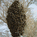 bee-swarm-south-Joshua-Tree-2010-04-17-IMG 0384