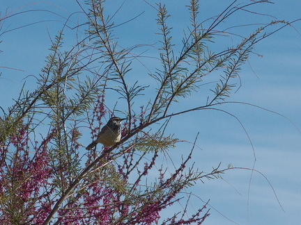 cactus-wren-at-motel-Campylorhynchus-brunneicapellus-in-Yucca-Valley-Joshua-Tree-2012-03-16-IMG 1328