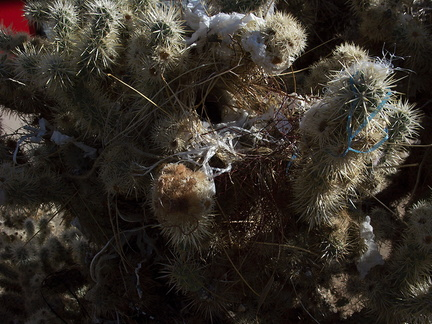 cactus-wren-nest-at-motel-Campylorhynchus-brunneicapellus-in-Yucca-Valley-Joshua-Tree-2012-03-16-IMG 1332