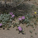 Abronia-villosa-hairy-sand-verbena-Fried-Liver-Wash-Pinto-Basin-Rd-Joshua-Tree-NP-2017-03-16-IMG 4185