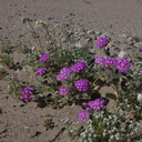 Abronia-villosa-hairy-sand-verbena-Fried-Liver-Wash-Pinto-Basin-Rd-Joshua-Tree-NP-2017-03-16-IMG 7661