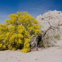 Cercidium-floridum-now-Parkinsonia-florida-paloverde-Box-Canyon-Rd-south-Joshua-Tree-NP-2016-03-04-IMG 2848