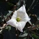 Datura-wrightii-jimsonweed-south-Joshua-Tree-NP-2017-03-24-IMG 4321