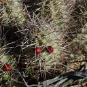 Echinocereus-mojavensis-kingcup-cactus-in-bud-Hidden-Valley-Joshua-Tree-NP-2017-03-16-IMG 4123