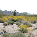 blooming-brittlebush-fields-Encelia-farinosa-south-of-Joshua-Tree-NP-2017-03-24-IMG 4213