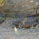 desert-tortoise-Gopherus-agassizii-south-Joshua-Tree-NP-2017-03-24-IMG 7707