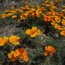 Eschscholtzia-californica-poppies-170thStW-2014-04-20-IMG 3585