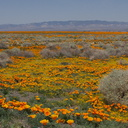 poppy-fields-Eschscholtzia-californica-lunch-spot-170thStW-2014-04-20-IMG 3577