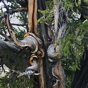 bristlecone-spiral-branches1-img 4143