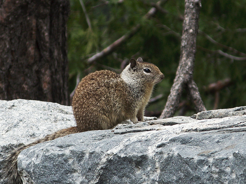 California-ground-squirrel-Spermophilus-beecheyi-at-Tunnel-View-Yosemite-2010-05-26-IMG_5897.jpg