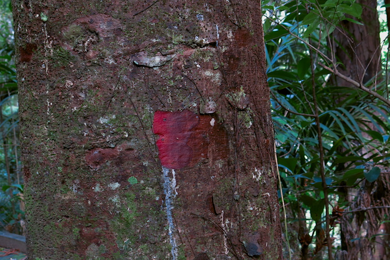 red-exposed-kauri-bark-Hatea-River-walk-Parihaka-2017-05-22-IMG_8337.jpg