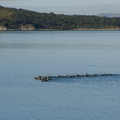 pied-shags-swimming-in-formation-Beach-Rd-Onerahi-2017-05-08-IMG 8238