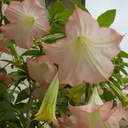Brugmansia-angels-trumpet-in-full-bloom-pink-flowers-2015-01-30-IMG 4377---G15