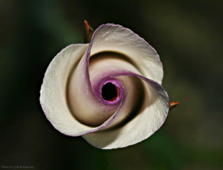 calochortus_catalinae_unfurling_top_angle_img_3701_crop_enh_scale.jpg