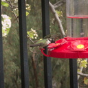 Costas-hummingbird-at-feeder-2015-01-30-IMG 4382a