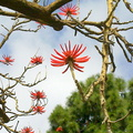 Erythrina-blooming-at-Ventura-County-courthouse-2013-04-22 004 1