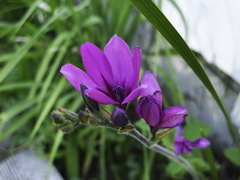 Ixia-ixioides-purple-flowers-2010-03-17-IMG 4002