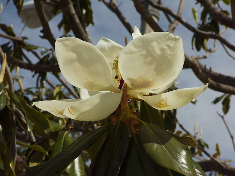 Magnolia-grandiflora-flower-and-bees-2014-04-23-IMG 3600