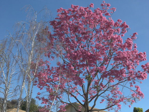 Tabebuia-sp-pink-trumpet-tree-white-birch-in-garden-2015-02-24-IMG 4460