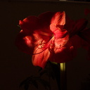 amaryllis-in-bloom-2011-02-20-IMG 7137