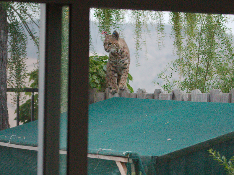 bobcat-and-her-three-kits-in-back-garden-Moorpark-2015-05-05-IMG_0614.jpg
