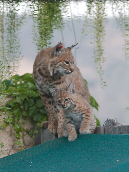 bobcat-and-her-three-kits-in-back-garden-Moorpark-2015-05-09-IMG_0677.jpg