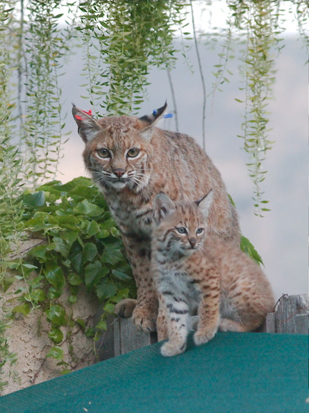 bobcat-and-her-three-kits-in-back-garden-Moorpark-2015-05-09-IMG_0681.jpg