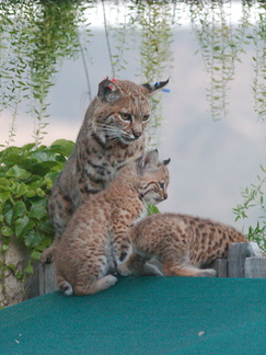 bobcat-and-her-three-kits-in-back-garden-Moorpark-2015-05-09-IMG 0692
