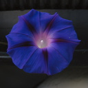 convolvulus-on-junk-cobalt-blue-2008-11-06-IMG 1513