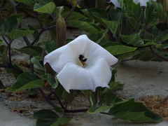 bumblebee-collecting-pollen-on-jimsonweed-Datura-2009-08-08-IMG 3325