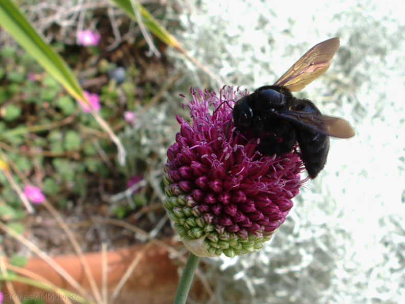 bumblebee-on-Allium-2009-06-27-IMG_3111.jpg