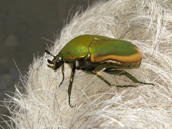 green-scarab-beetle-on-grey-hair-2008-09-05-IMG 1286