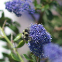 orange-rumped-bumblebee-Bombus-melanopygus-on-Ceanothus-oliganthus-in-garden-2012-04-27-IMG 4698