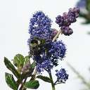 orange-rumped-bumblebee-Bombus-melanopygus-on-Ceanothus-oliganthus-in-garden-2012-04-27-IMG 4703